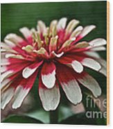 Candy Color Zinnia Wood Print