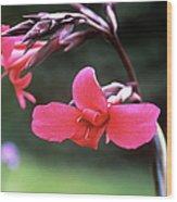 Canna Lily (canna X Ehemanii) Wood Print by Adrian Thomas