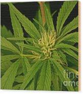 Cannabis Bud Wood Print