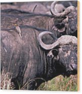 Cape Buffalo With Tick Bird Wood Print