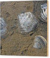 Cape Cod Clam Shells Wood Print