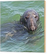 Cape Cod Harbor Seal Wood Print by Juergen Roth