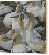 Cape Gannets Wood Print