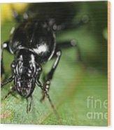 Carabid Beetle Rootworm Rredator Wood Print