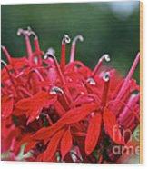 Cardinal Flower Close Up Wood Print
