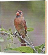 Cardinal On Pope Wood Print