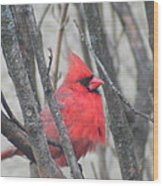 Cardinal With Fluffed Feathers Wood Print