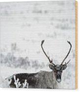 Caribou Rangifer Tarandus Dempster Wood Print