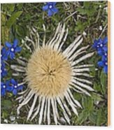 Carlina Acaulis And Gentiana Verna Wood Print