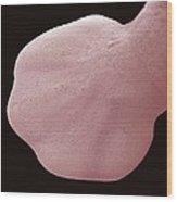 Cat Foetus Paw, Sem Wood Print by Steve Gschmeissner