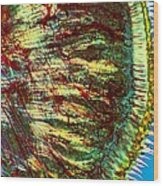Cat Tongue Tissue, Light Micrograph Wood Print by Dr Keith Wheeler