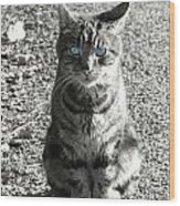 Cat With Blue Eyes Wood Print