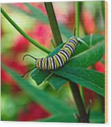 Caterpillar Before The Butterfly 1 Wood Print