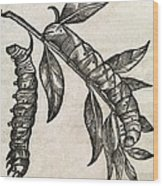 Caterpillars, 17th Century Artwork Wood Print