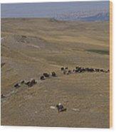Cattle Drive In Montana Wood Print