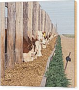 Cattle Feeding Wood Print