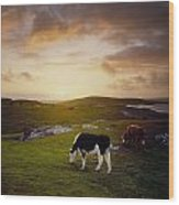 Cattle, Mannin Bay, Co Galway, Ireland Wood Print