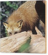 Cautious Red Fox Wood Print