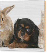 Cavalier King Charles Spaniel Pup Wood Print
