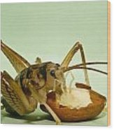 Cave Cricket Feeding On Almond 8 Wood Print