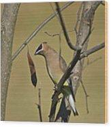 Cedar Waxwing - 2491 Wood Print