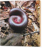 Center Centipede Wood Print