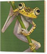 Chachi Tree Frog Hypsiboas Picturatus Wood Print