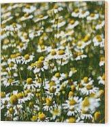 Chamomile Fields Wood Print