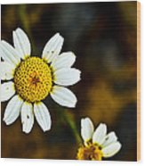 Chamomile Flower In Decay Wood Print