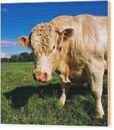 Charolais Bull, Ireland Wood Print