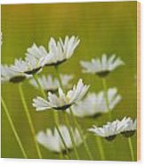 Cheerful Daisy Wildflowers Blowing In The Wind Wood Print