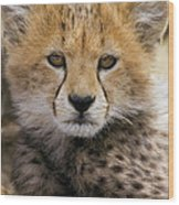 Cheetah Acinonyx Jubatus Ten To Twelve Wood Print