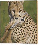 Cheetah Acinonyx Jubatus With Its Kill Wood Print