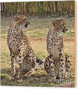 Cheetah Chat 1 Wood Print