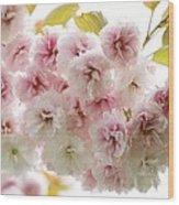 Cherry Blossom (cerasus Sp.) Wood Print