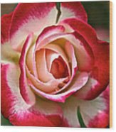 Cherry Vanilla Rose Wood Print