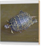 Chester River Turtle Wood Print by Brian Wallace