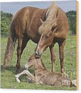 Chestnut Icelandic Horse With Newborn Foal Wood Print