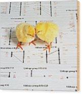 Chicken Genetics Wood Print