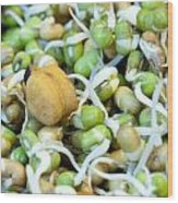 Chickpea And Other Lentils In The Form Of Healthy Eatable Sprouts Wood Print