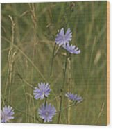 Chicory 2765 Wood Print