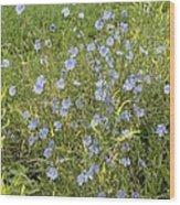 Chicory Flowers (cichorium Intybus) Wood Print