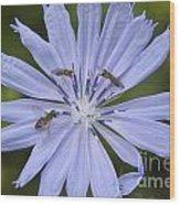 Chicory For Three Wood Print