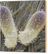 Chilodonella Ciliate Protozoan, Sem Wood Print by Power And Syred