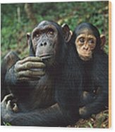 Chimpanzee Adult Female With Orphan Baby Wood Print