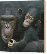 Chimpanzee Pan Troglodytes Adult Female Wood Print