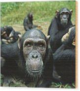 Chimpanzee Pan Troglodytes Female Wood Print