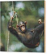 Chimpanzee Pan Troglodytes Resting Wood Print