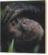 Chimpanzees, As Reported By Jane Wood Print
