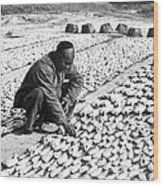 Chinese Man Drying Fish On The Shore - C 1902 Wood Print